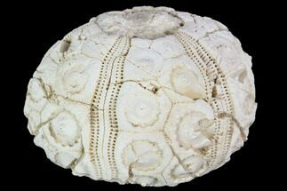 "Buy 2.0"" Fossil Sea Urchin (Drocidaris) - Morocco - #104512"