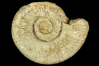 "Buy 3.2"" Fossil Ammonite (Lithacoceras) - Germany - #104578"