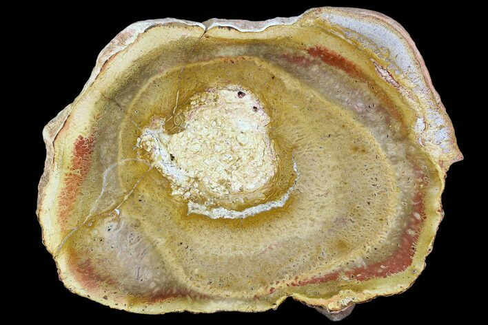 "7.6"" Polished Petrified Tree Fern (Psaronius) End Cut - Brazil"