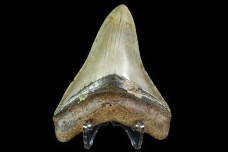 "Buy 4.1"" Fossil Megalodon Tooth - North Carolina - #105010"