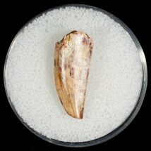 "Buy Large Raptor Tooth From Morocco - .86"" - #7426"