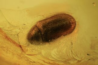 Detailed Fossil Beetle (Coleoptera) In Baltic Amber For Sale, #105479