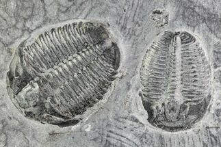 Elrathia kingii  - Fossils For Sale - #105579