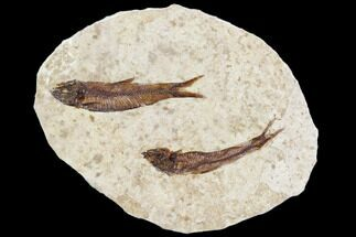 Buy Pair of Fossil Fish (Knightia) - With Display Case - #105589