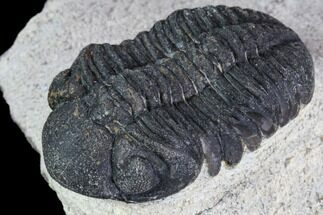 "Buy Bargain, 1.55"" Austerops Trilobite - Visible Eye Facets - #106039"