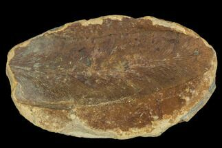 "Buy 2.4"" Macroneuropteris Fern Fossil - Mazon Creek - #106045"