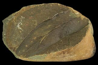 "Buy 2.8"" Neuropteris Fern Fossil - Mazon Creek - #106051"