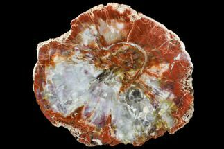 "12.7"" Tie-Dye Petrified Wood (Araucarioxylon) Round - Arizona For Sale, #106307"
