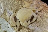 "3"" Fossil Crab (Potamon) Preserved in Travertine - Turkey - #106459-3"
