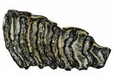 "4.4"" Polished Mammoth Molar Slice - South Carolina - #106415-1"