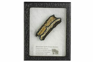 "Buy 2.8"" Mammoth Molar Slice With Case - South Carolina - #106495"