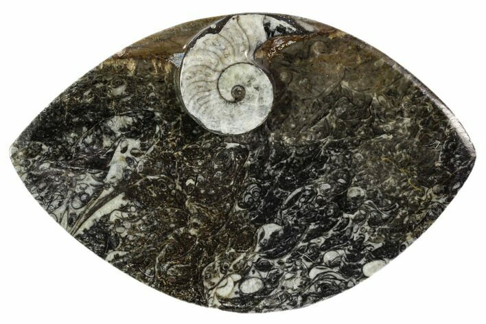 "5.4"" Wide, Fossil Goniatite Dish - Morocco"