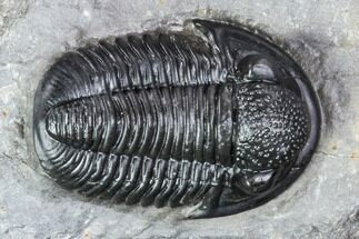".95"" Finely Detailed Gerastos Trilobite Fossil - Morocco For Sale, #107012"