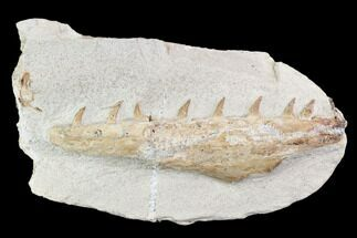 "Buy 5.0"" Fossil Mosasaur (Tethysaurus) Jaw Section  - Goulmima, Morocco - #107092"