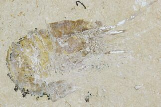Carpopenaeus callirostris - Fossils For Sale - #107460
