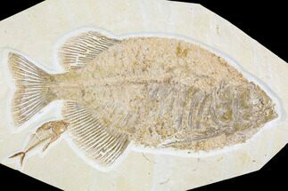 "14.2"" Fossil Fish (Phareodus) With Diplomystus - Wyoming For Sale, #107468"