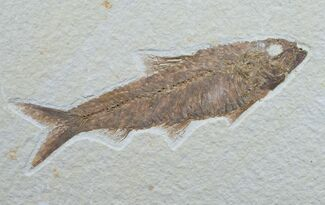 "4.7"" Knightia Fossil Fish - Wyoming For Sale, #7598"