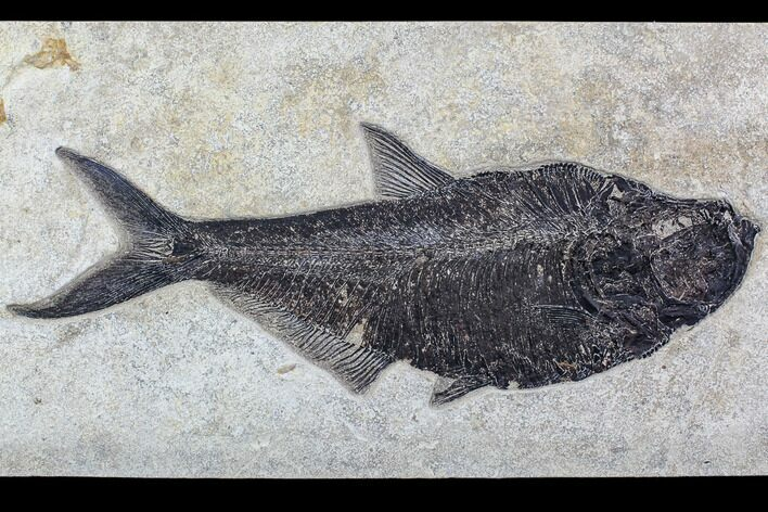 "18.0"" Fossil Fish (Diplomystus) From 18 Inch Layer - Top Quality"