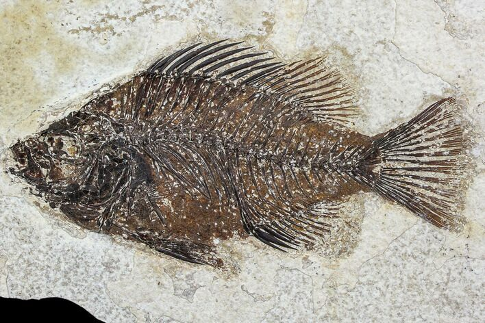 "4.9"" Fossil Fish (Cockerellites) - Green River Formation"