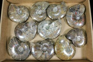 "Wholesale: 4 - 5"" Whole Polished Ammonites (Grade B/C) - 10 Pieces For Sale, #77762"