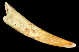 "1.4"" Pterosaur (Siroccopteryx) Tooth - Morocco For Sale, #107957"