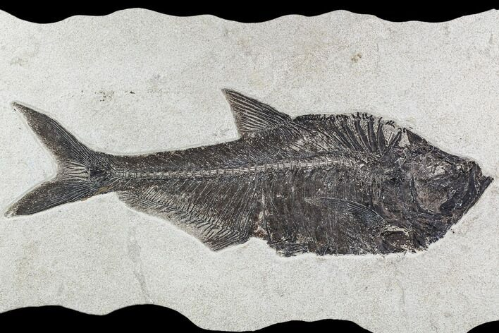 "17.5"" Fossil Fish (Diplomystus) From 18 Inch Layer - Wyoming"