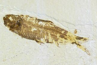 "Bargain, 3.4"" Fossil Fish (Knightia) - Wyoming For Sale, #108314"