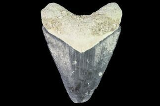 "Buy 2.03"" Fossil Megalodon Tooth - Florida - #108415"