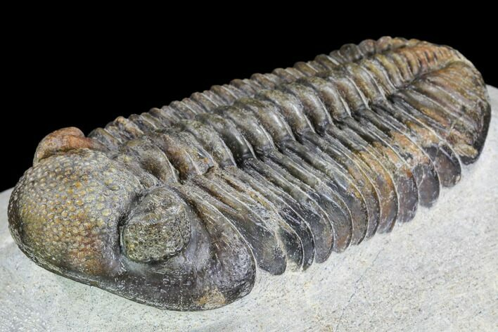 "4.15"" Pedinopariops Trilobite - Beautiful Shell Coloration"