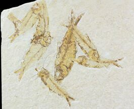Buy Multiple Knightia Fossil Fish - Wyoming - #108670