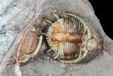 Beautiful Basseiarges Trilobite With Partial - Jorf, Morocco - #108757-2