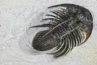 "1.35"" Spiny Kolihapeltis Trilobite - Rare Species For Sale, #108779"
