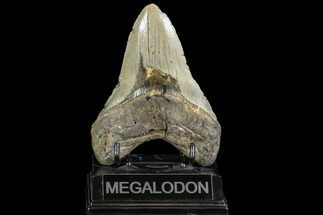 "Buy Large, 5.03"" Fossil Megalodon Tooth - North Carolina - #108880"