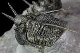 "Exceptional ""Devil Horned"" Cyphaspis Trilobite Cluster - #108774-8"