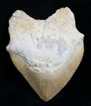 Buy Squalicorax Fossil Shark Tooth - Morocco - #7741
