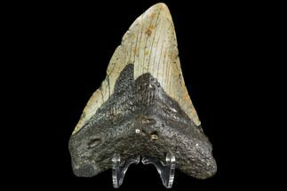 Carcharocles megalodon - Fossils For Sale - #108969