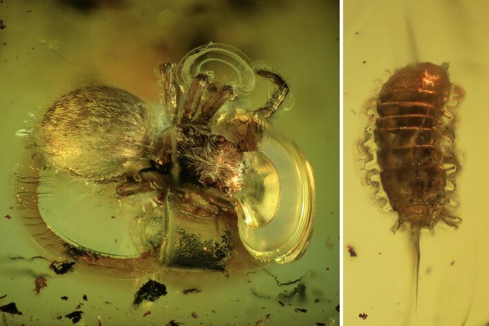 Fossil Spider (Araneae) And Larva In Baltic Amber