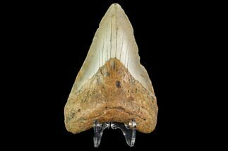 Carcharocles megalodon - Fossils For Sale - #109686
