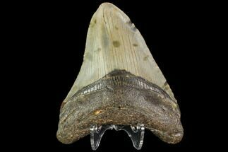 "3.62"" Fossil Megalodon Tooth - North Carolina For Sale, #109718"