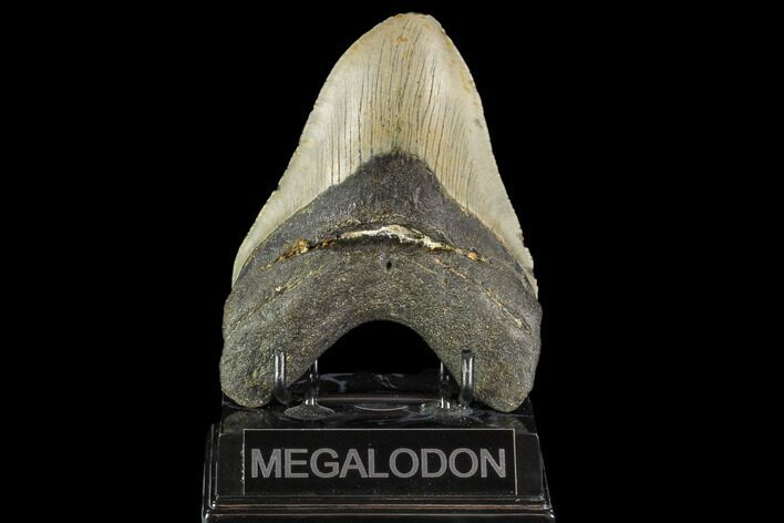 "5.13"" Fossil Megalodon Tooth - North Carolina"