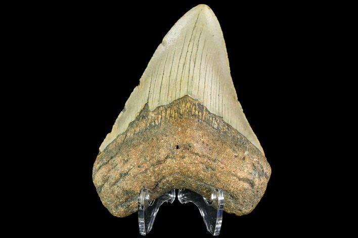 "4.06"" Fossil Megalodon Tooth - North Carolina"