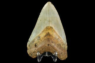 "Buy 3.7"" Fossil Megalodon Tooth - North Carolina - #109882"