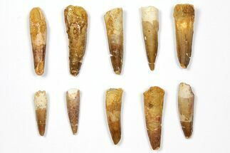 "Buy Wholesale Lot: 1.5-2.3"" Bargain Spinosaurus Teeth - 10 Pieces - #108541"