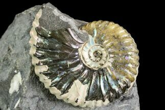 "Buy 1.2"" Iridescent Hoploscaphites Ammonite - South Dakota - #110569"