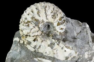 "1.1"" Discoscaphites Gulosus Ammonite - South Dakota For Sale, #110579"