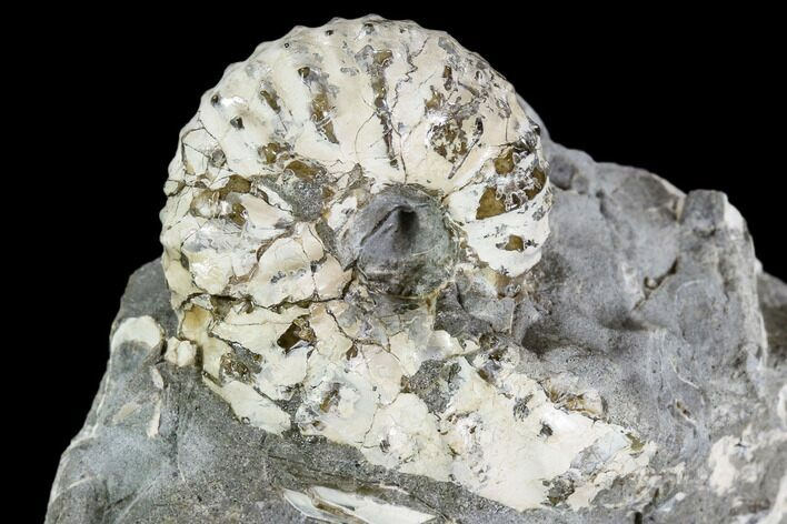 "1.1"" Discoscaphites Gulosus Ammonite - South Dakota"