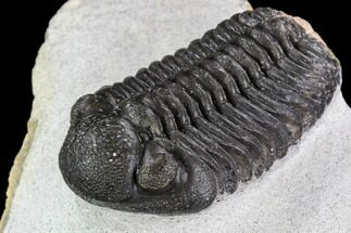 "Buy 2.05"" Adrisiops Weugi Trilobite - Recently Described Phacopid - #110710"