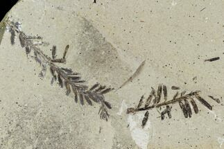 Metasequoia (Metasequoia) Fossil - Montana For Sale, #110864