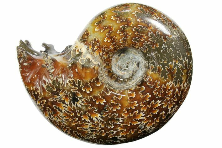 "3.7"" Polished, Agatized Ammonite (Cleoniceras) - Madagascar"