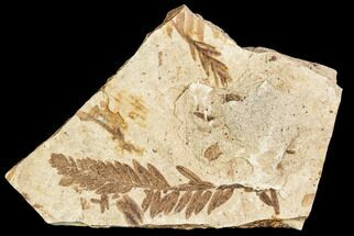 Metasequoia occidentalis - Fossils For Sale - #110901